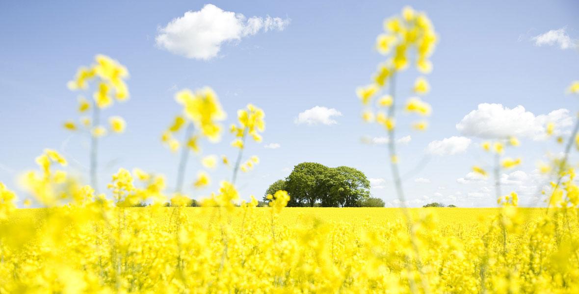 Alleskönner Rapspflanze – unsere wichtigste heimische Ölpflanze